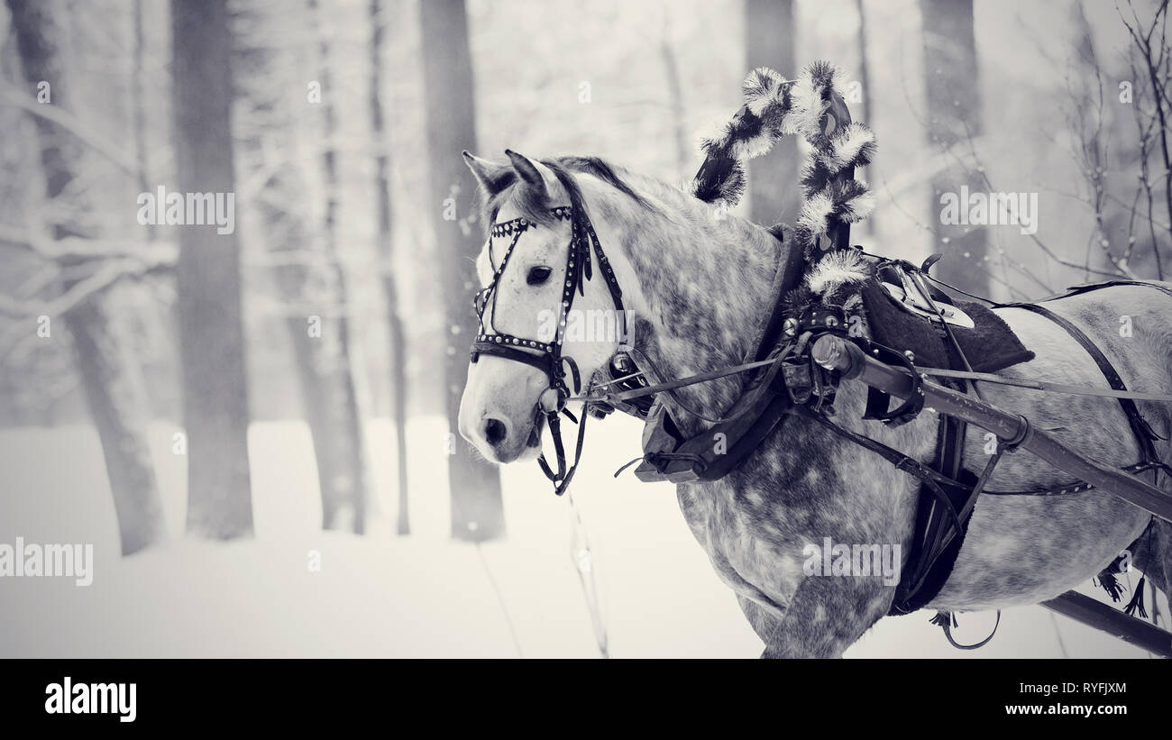 White horse in a harness. Stallion. Portrait of a horse. Thoroughbred horse. Beautiful horse. - Stock Image
