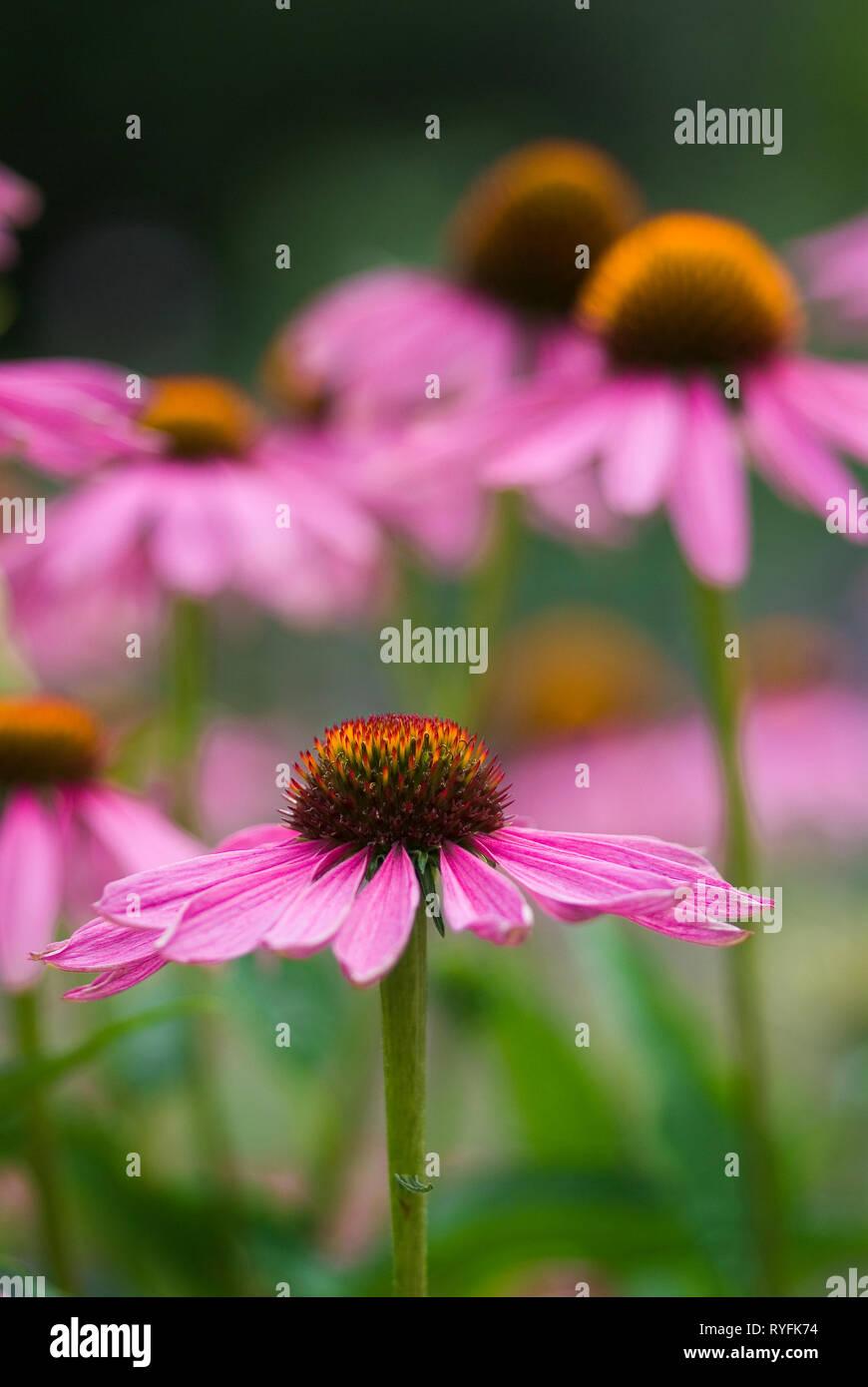 Coneflower, enchinasea purpurea group, short depth of field, portrait - Stock Image