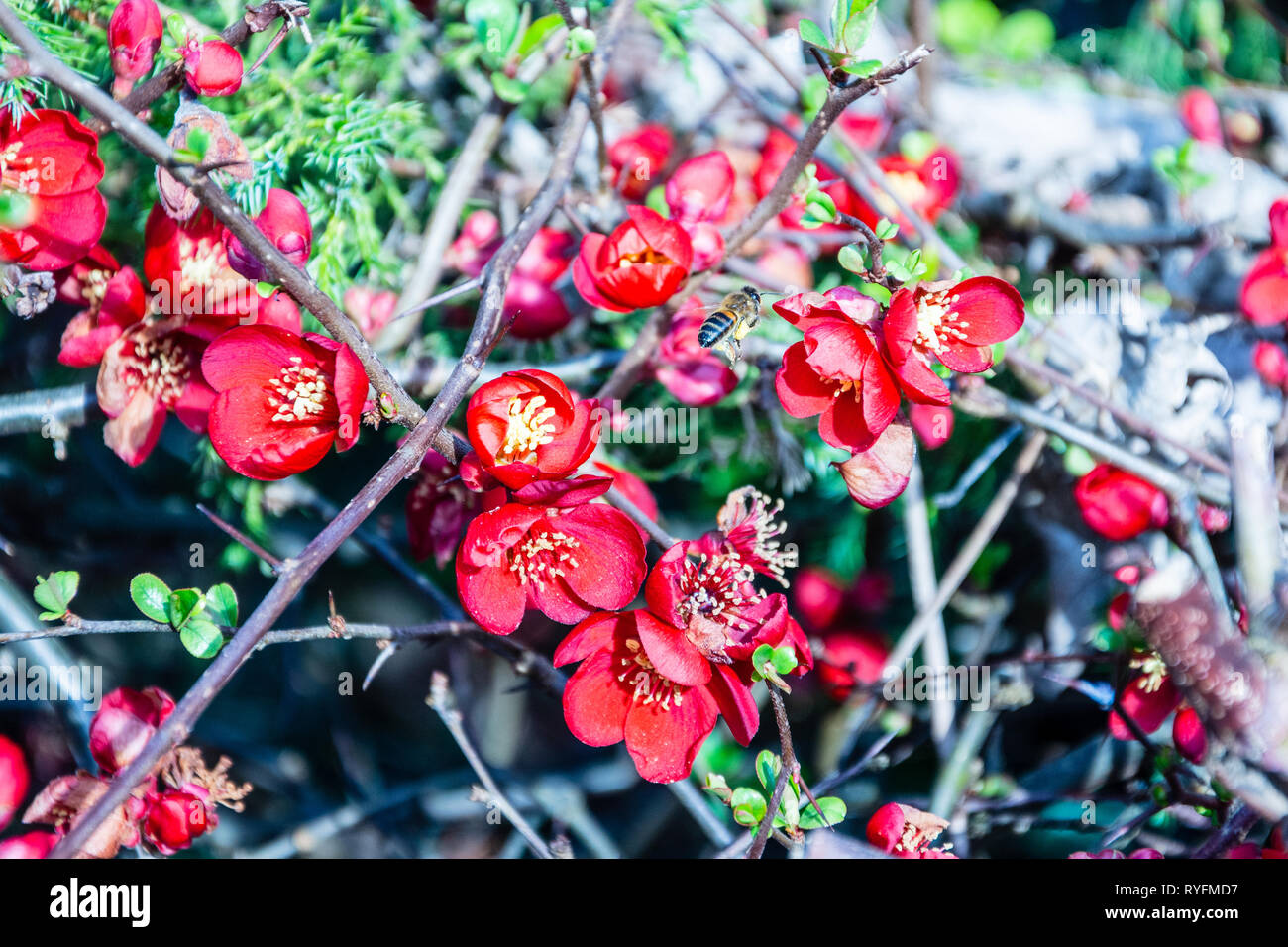 Bright red flowers of a Chaenomeles aka flowering quince aka Japanese quince with an early honey bee Apis mellifera flying between the flowers Stock Photo