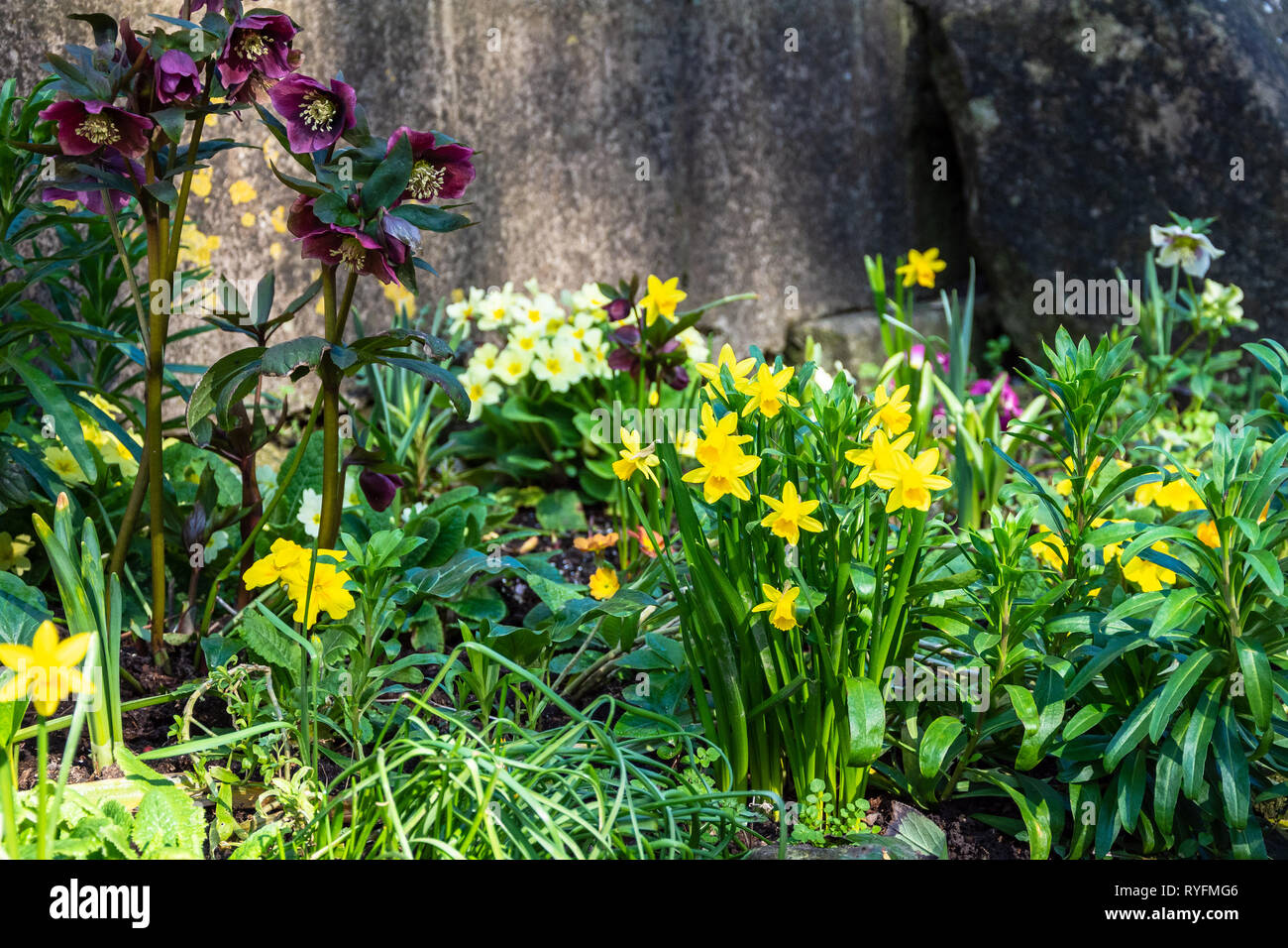 The shady corner of a small garden on a spring day with daffodils and hellebores growing with primroses in the background Stock Photo