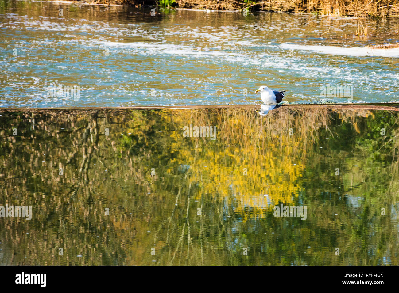 Seagull reflected in the river on top of the Avoncliff weir in Wiltshire with foam and ripples on the down river section in the background Stock Photo