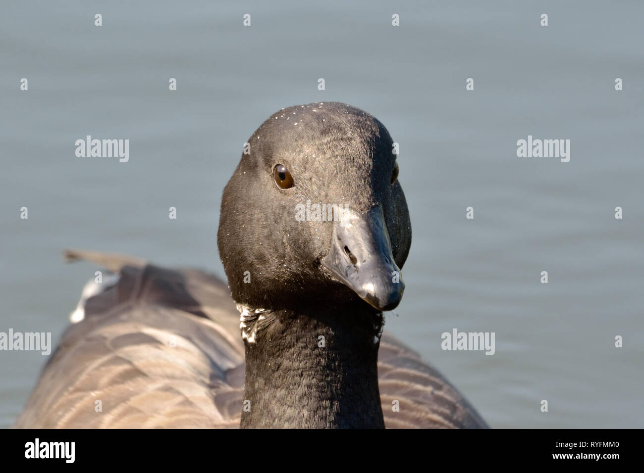 Brent goose swimming in pond.Brent goose portrait. - Stock Image