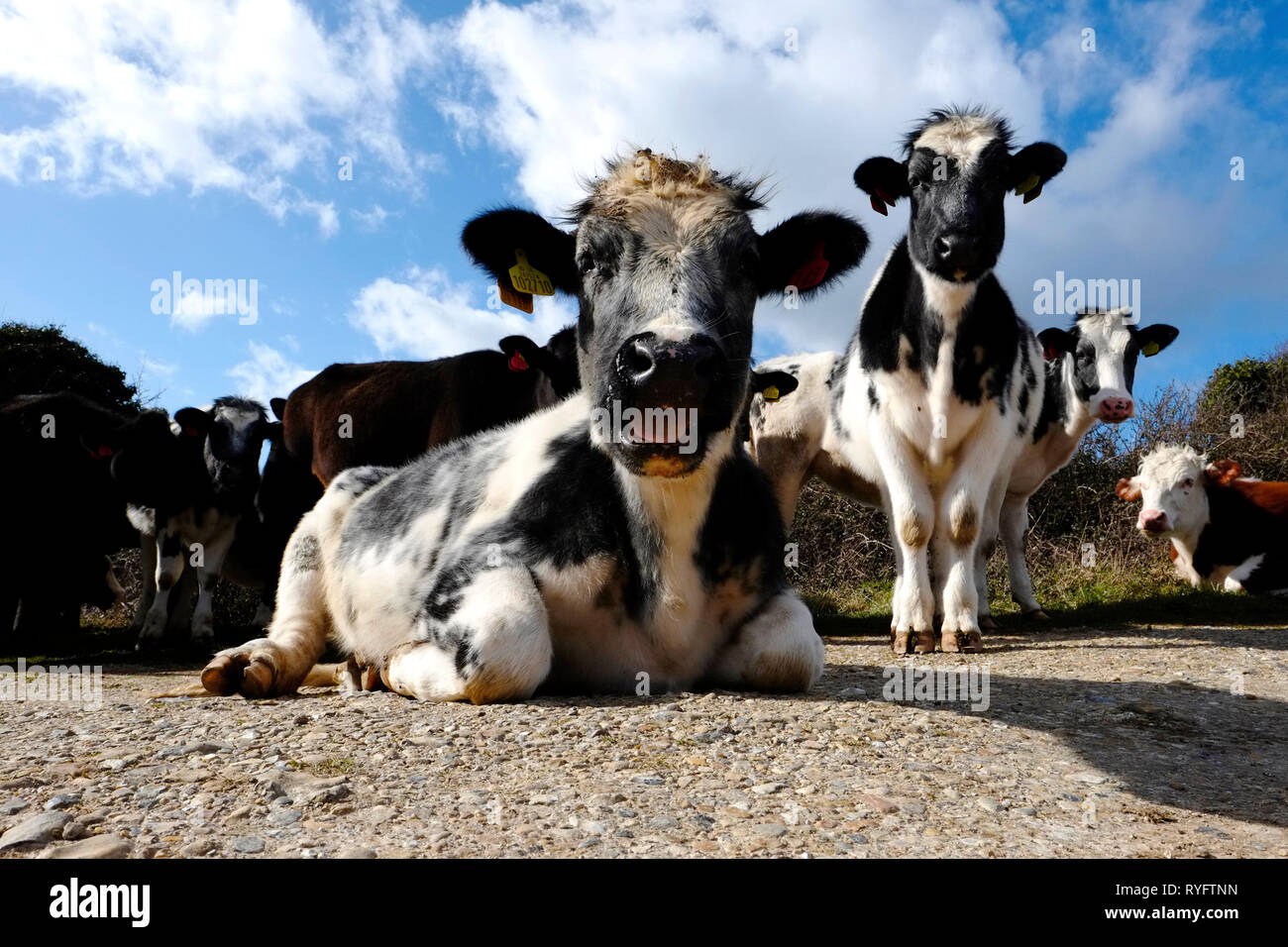 A herd of cows portrait, some ruminating, on top of Bembridge and Culver Downs, Isle of Wight, UK, United Kingdom. - Stock Image