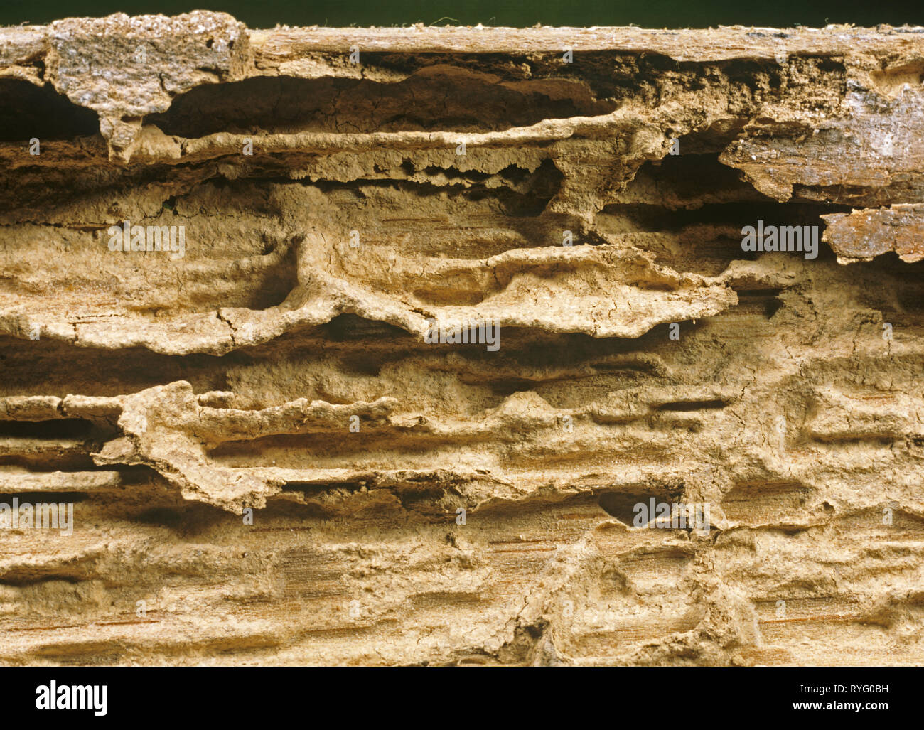 Severe damage caused by termites (Reticulitermes sp.) to a wooden skirting board - Stock Image