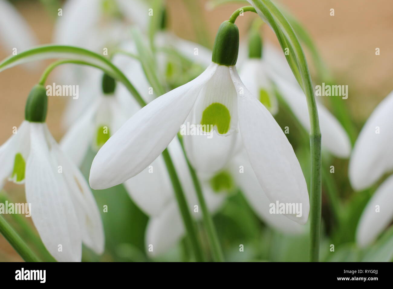 Galanthus 'Bill Bishop'. Mighty Atom group snowdrop with bold green marking and long outer petals (segments) - February, UK garden - Stock Image