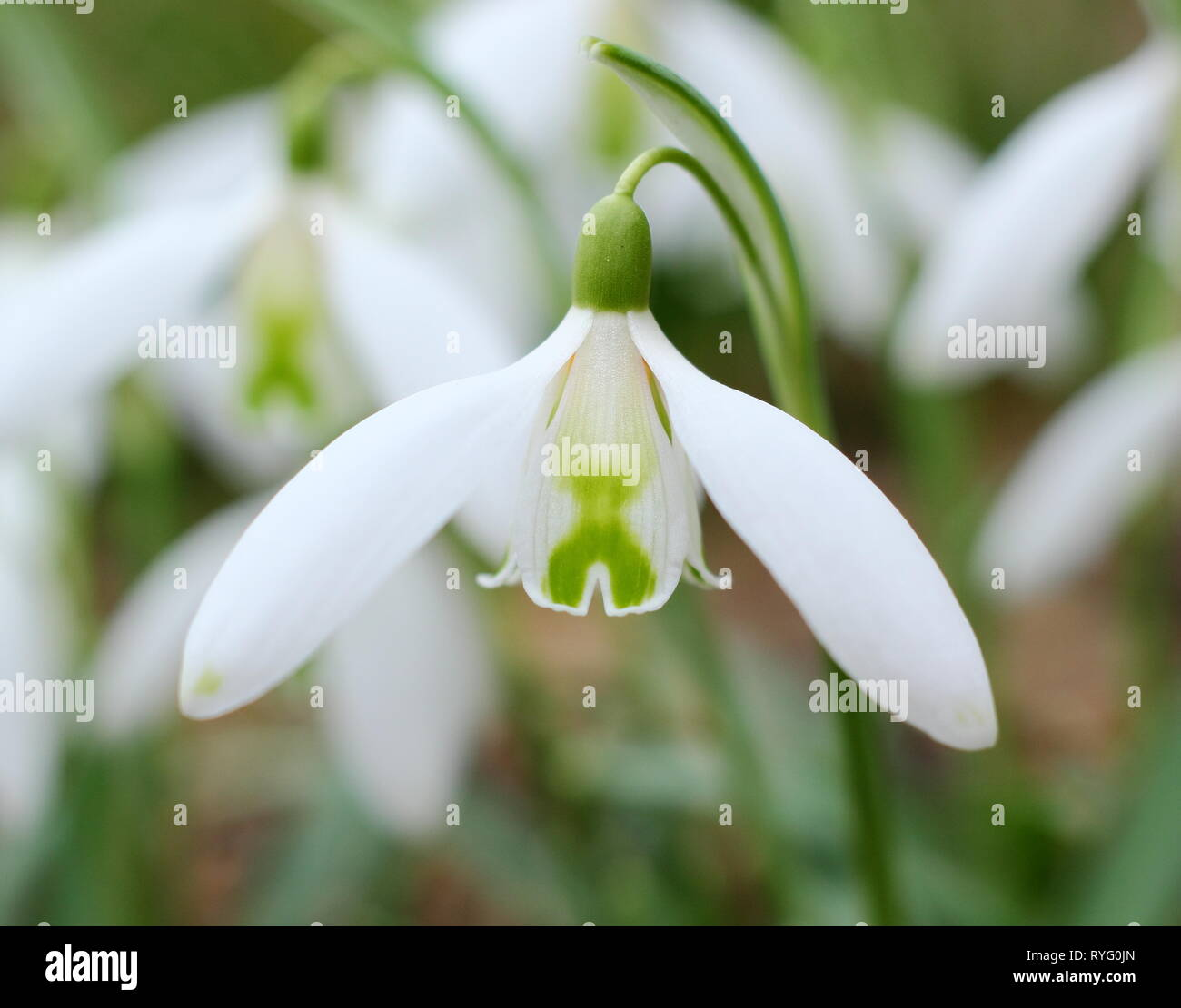 Galanthus 'Curly. Fragrant blooms of Snowdrop 'Curly' displaying a distinctive green cross on inner segments - February, UK garden - Stock Image