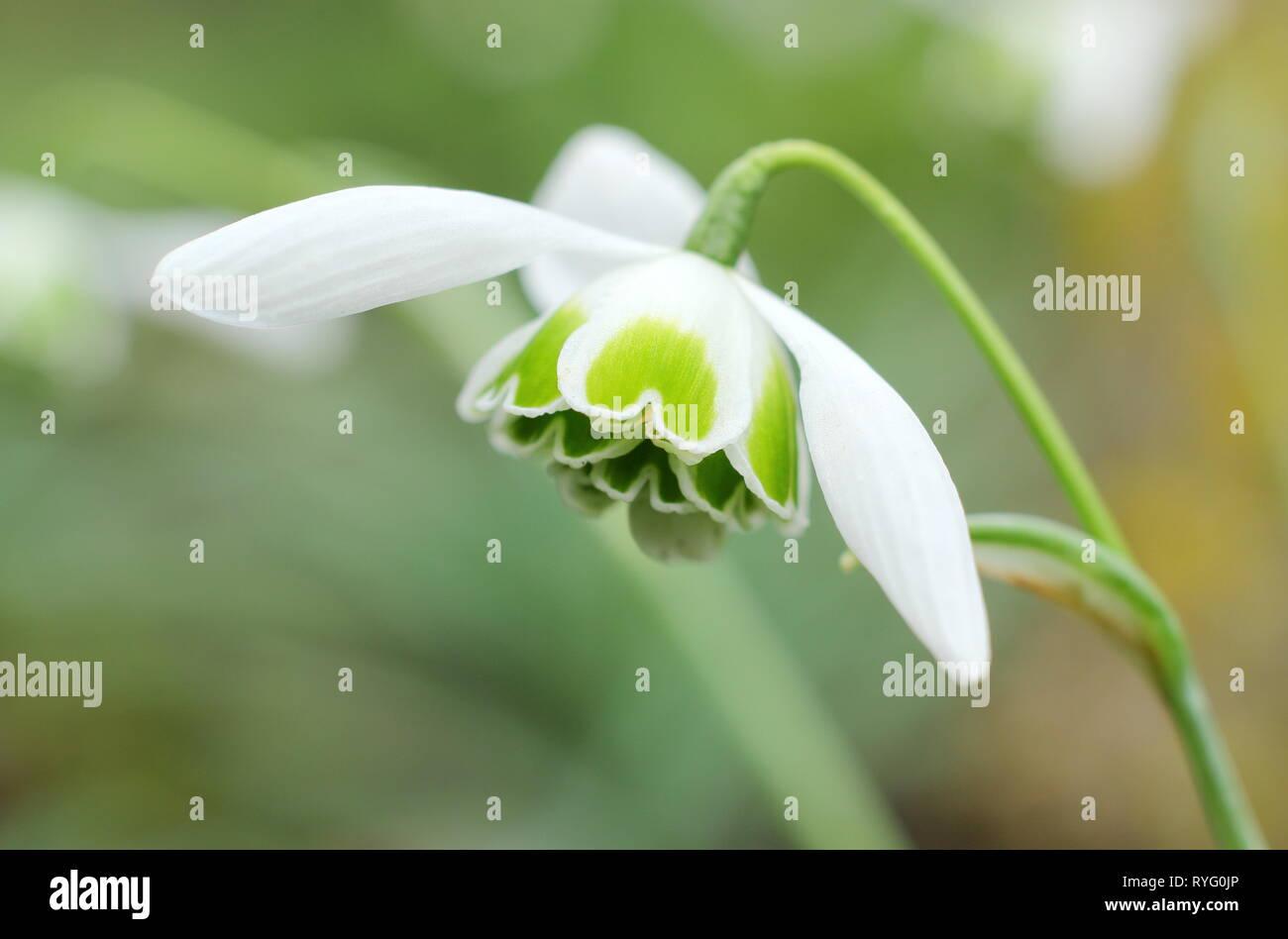 Galanthus 'Titania'. Blooms of Snowdrop 'Titania', a Greatorex double snowdrop in February, UK garden. - Stock Image