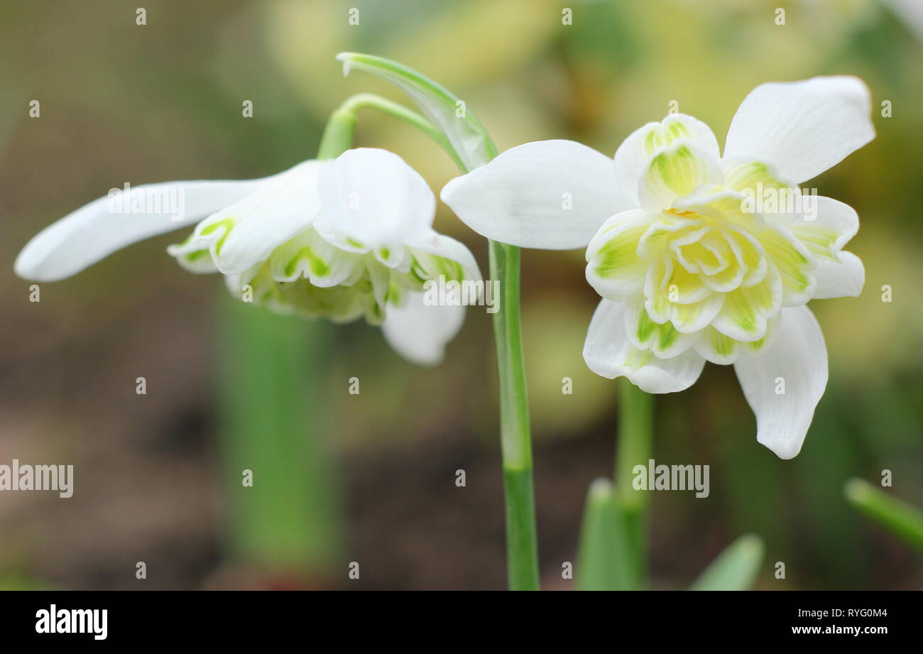 Galanthus nivalis f. pleniflorus 'Lady Elphinstone'. Double snowdrop, noted for yellow markings, in an English garden in February, UK - Stock Image