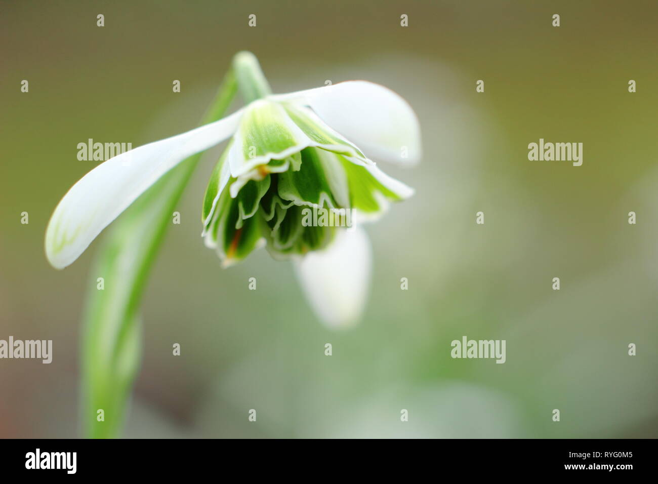 Galanthus 'Jacquenetta'. Honey scented bloom of Snowdrop 'Jaquenetta', a  Greatorex double snowdrop - February, UK - Stock Image
