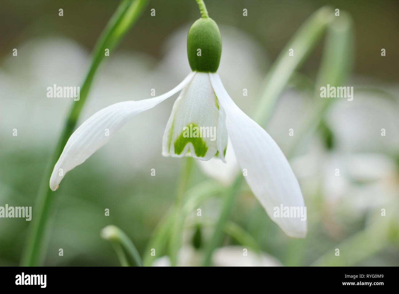 Galanthus 'Galatea' snowdrop flowering in late winter - February, UK - Stock Image
