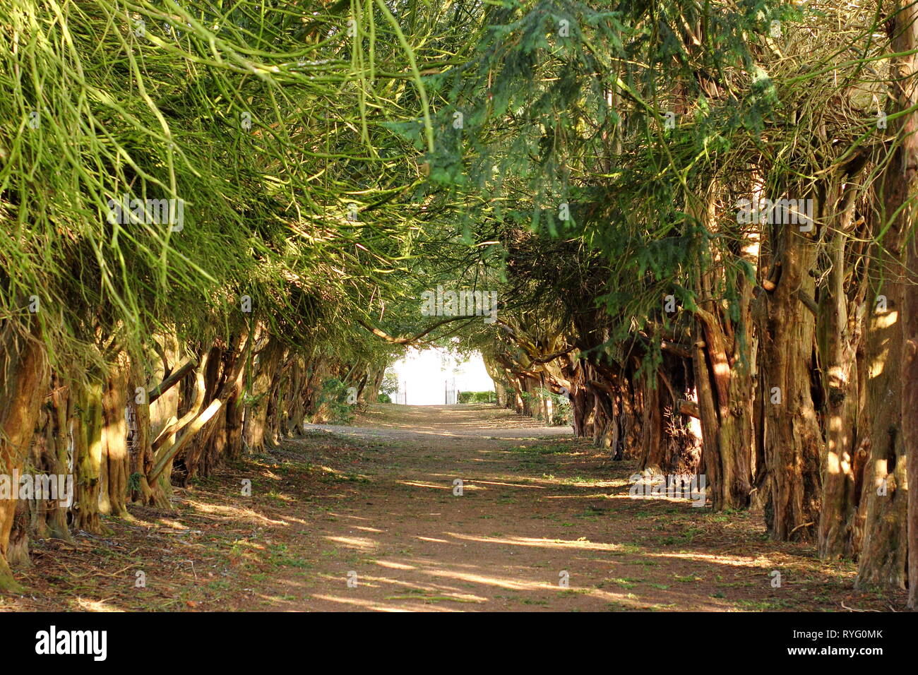 Taxus baccata. The Yew tree tunnel at Easton Walled Gardens near Grantham, Lincolnshire, England, UK - early spring - Stock Image