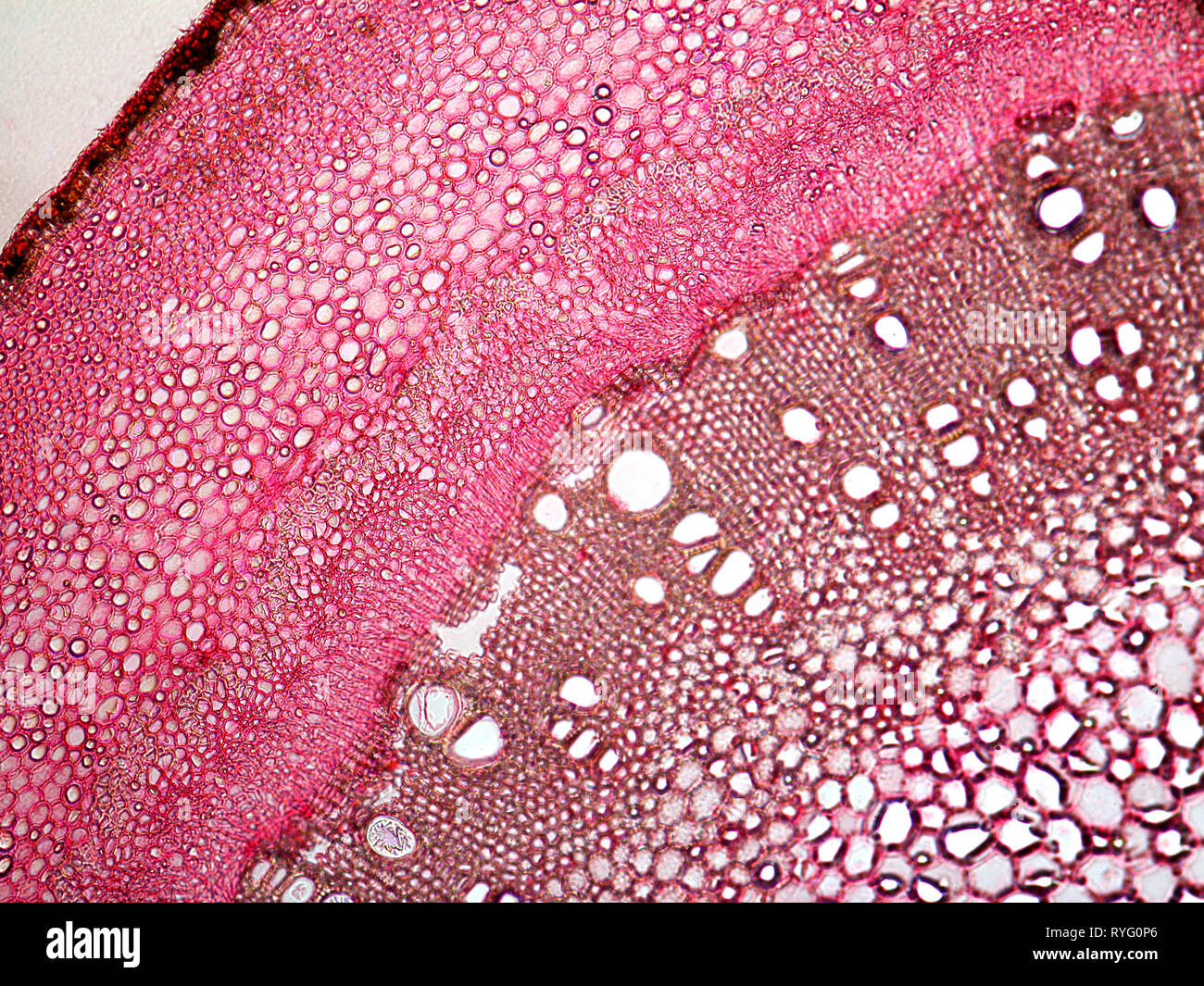 Fig. Cross section of stem. Ficus carica. - Stock Image