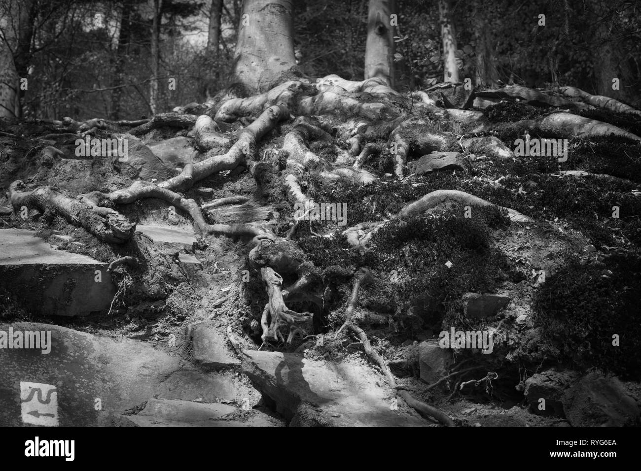 Root in the forest - Stock Image