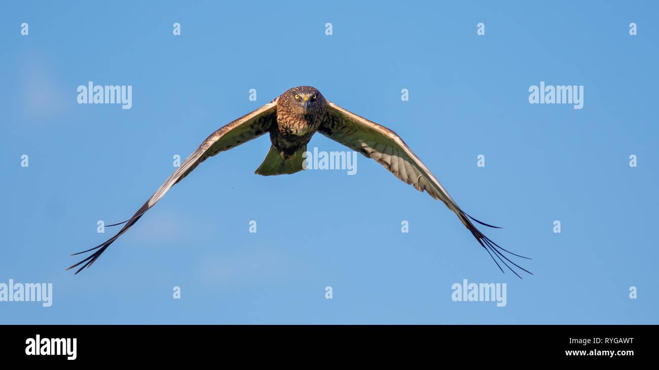 Male Western Marsh harrier full face in flight Stock Photo