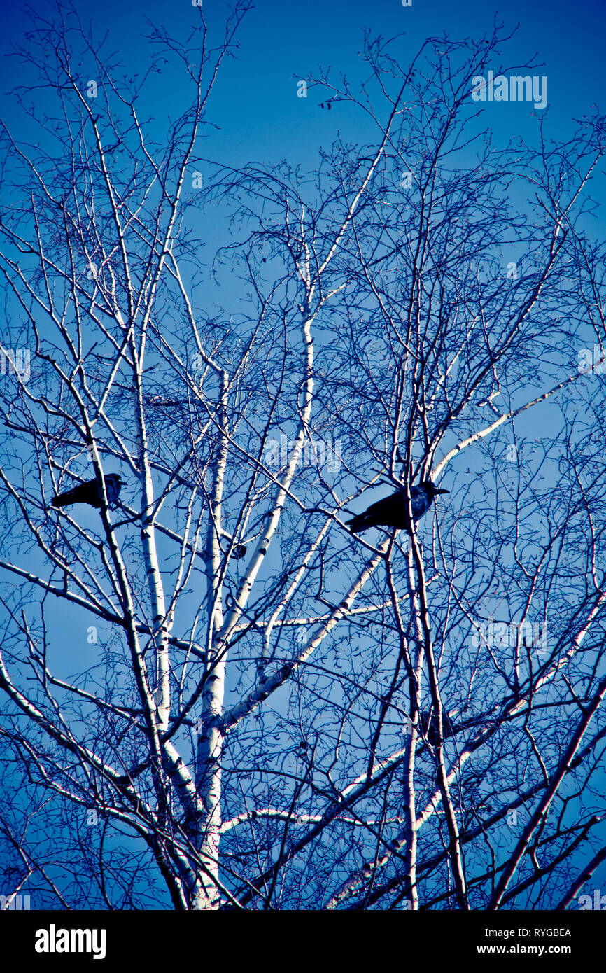 two crows sitting on the branches of a tree - Stock Image