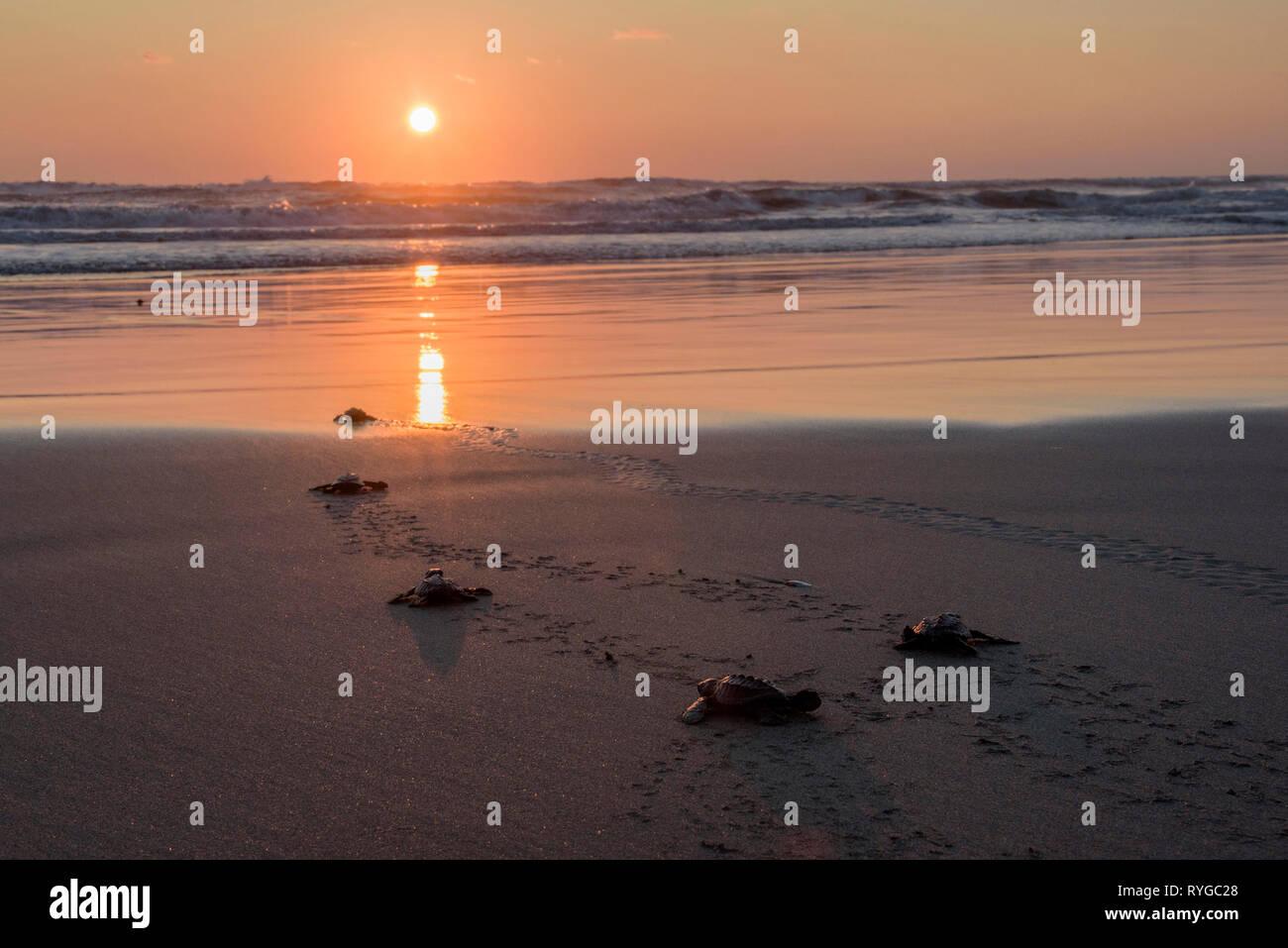 Cada año miles de tortugas desovan en costas de Guerrerenses y al atardecer cuando cae el sol las tortugas encuentran su camino al nacer y en esos pas - Stock Image