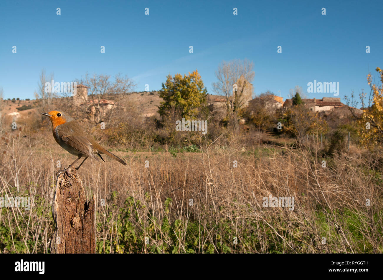 Robin - Erithacus rubecula, perched on a branch with landscape and habitat - Stock Image