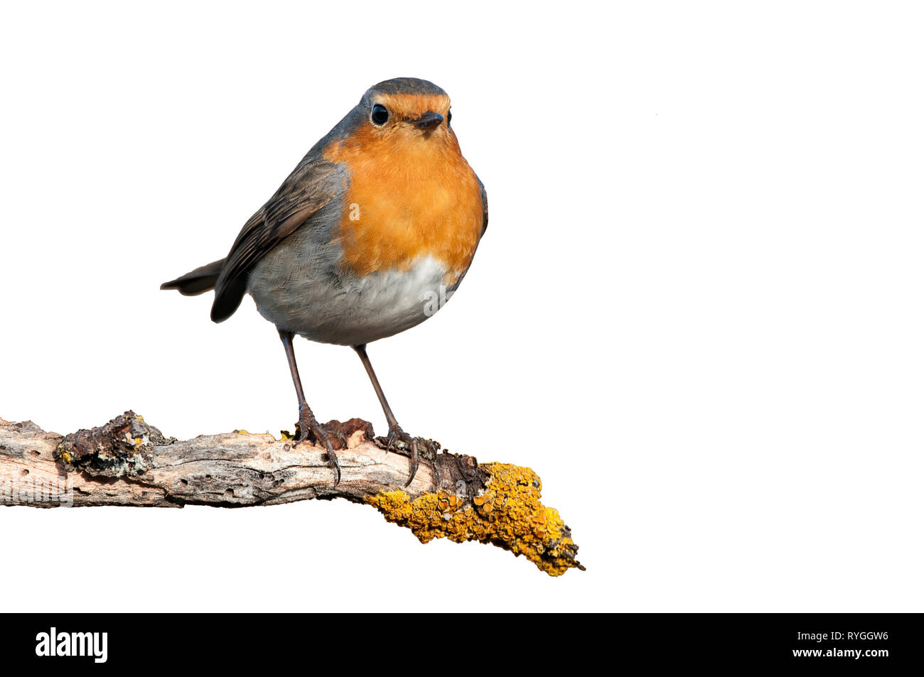 Robin - Erithacus rubecula, standing on a branch with white background - Stock Image