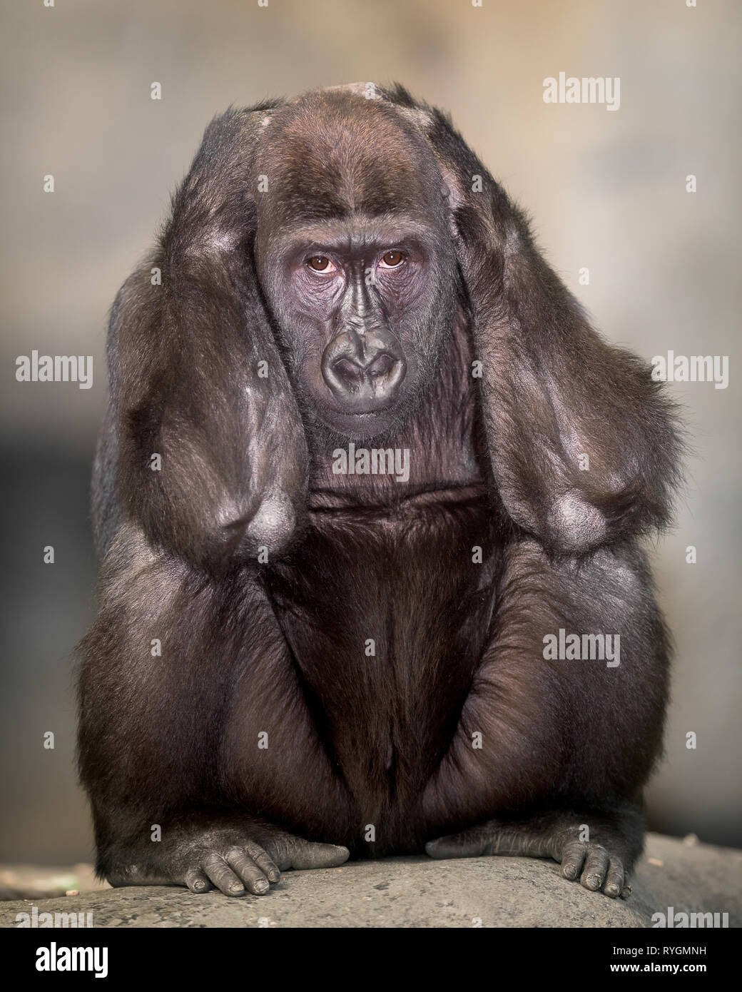 Adult female western lowland gorilla portrait with hands covering ears - Stock Image