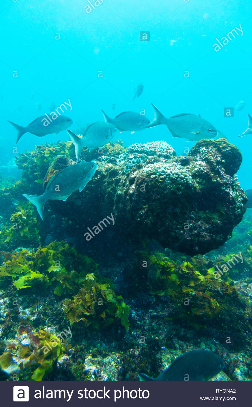 Cannon from the Batavia shipwreck on Morning reef in the Wallabi Group of the Houtman Abrolhos. On June 4, 1629 the Dutch East India Company (VOC) shi - Stock Image
