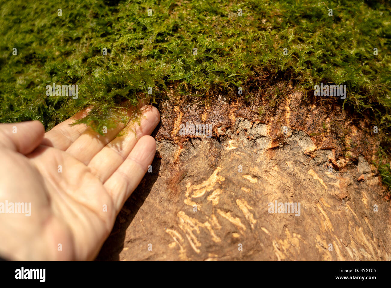 Man's hand and moss on tree. Damaged stripped scraped tree bark by deer. Deer damaged tree trunk. - Stock Image