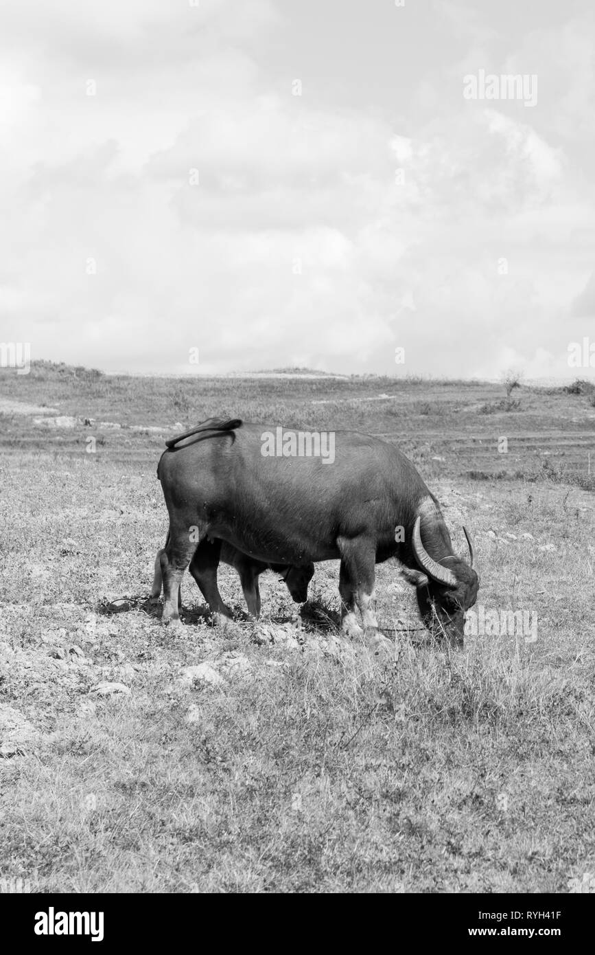 Black and white picture of a buffalo and calf at the fields close to Inle Lake in Myanmar - Stock Image