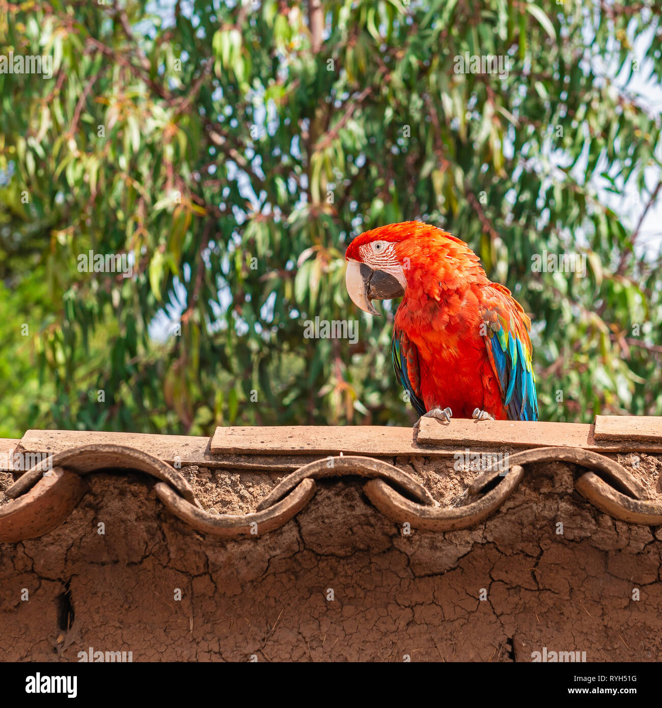 A scarlet macaw (Ara macao) standing on a roof in the tropical rainforest of Peru, South America. - Stock Image