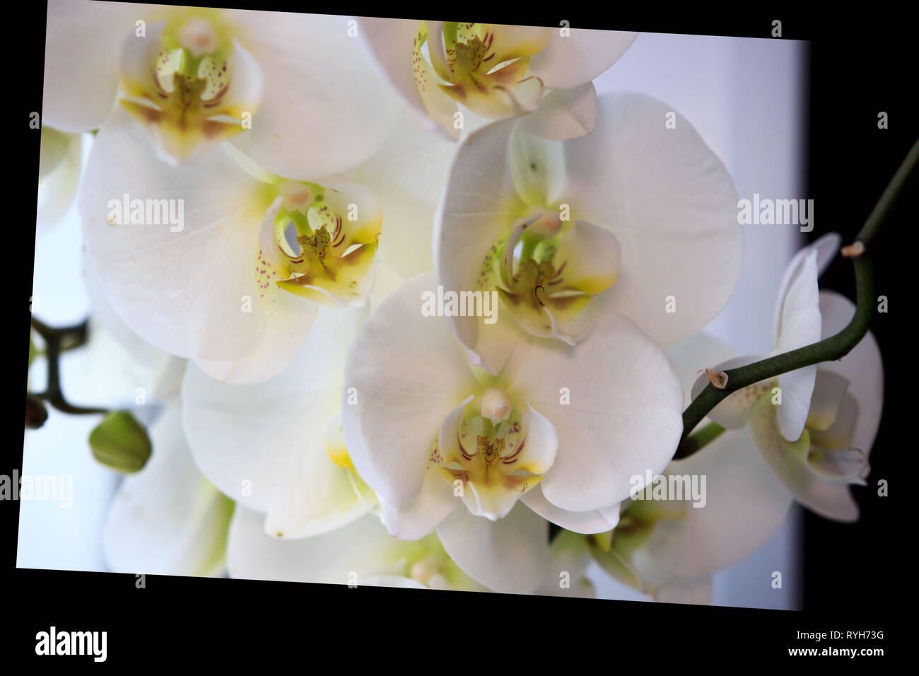 Beautiful flower Orchid, white phalaenopsis is standing by the window on the window sill in the room. with black oblique frame Stock Photo