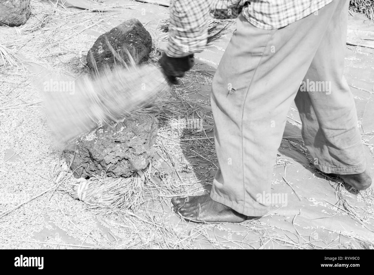 INLE LAKE, MYANMAR - 27 NOVEMBER, 2018: Black and white picture of burmese man tapping to collect rice in Inle Lake, Myanmar - Stock Image