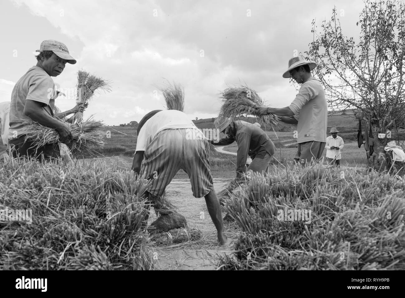 INLE LAKE, MYANMAR - 27 NOVEMBER, 2018: Black and white picture of local men tapping to collect rice in Inle Lake, Myanmar - Stock Image