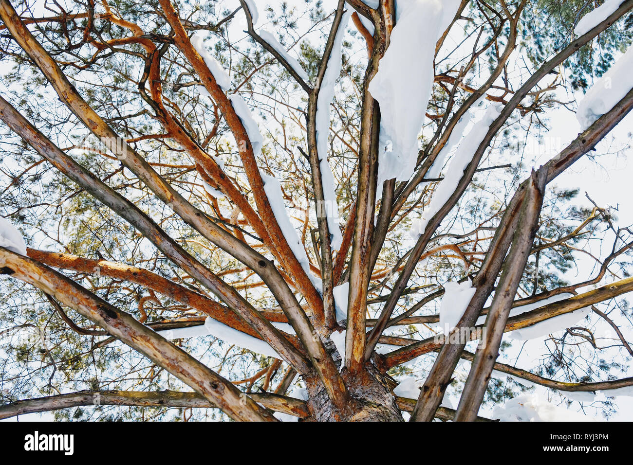 Unusual view of big old pine tree, from bottom to top, winter scene - Stock Image