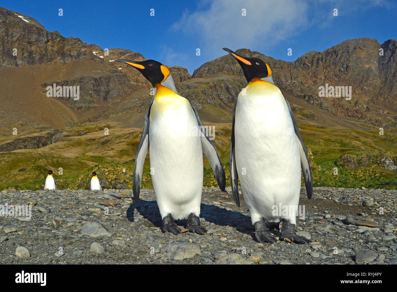 King penguin (Aptenodytes patagonicus), two adults on Carcass Island, Falkland Islands, South Atlantic Ocean - Stock Image