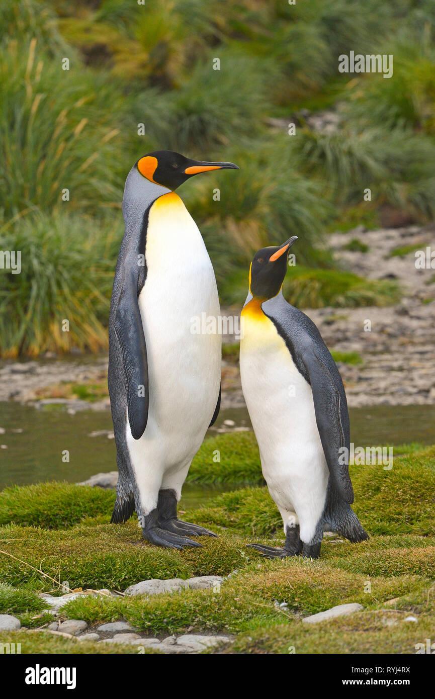 King penguins (Aptenodytes patagonicus), adult pair on South Georgia Island, Antarctic - Stock Image