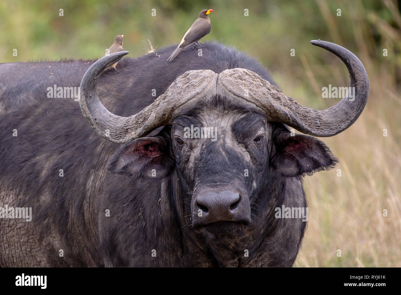 e52c628dd Angry Buffalo Stock Photos & Angry Buffalo Stock Images - Alamy