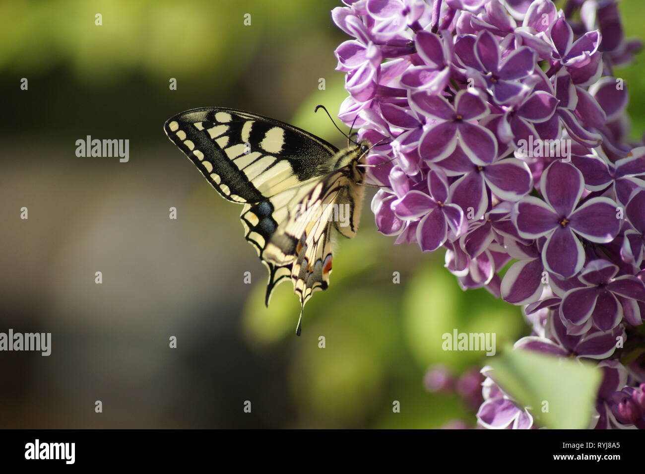 Swallowtail Butterfly Papilio machaon on lilac flower bush Syringa vulgaris Sensation flieder - Stock Image