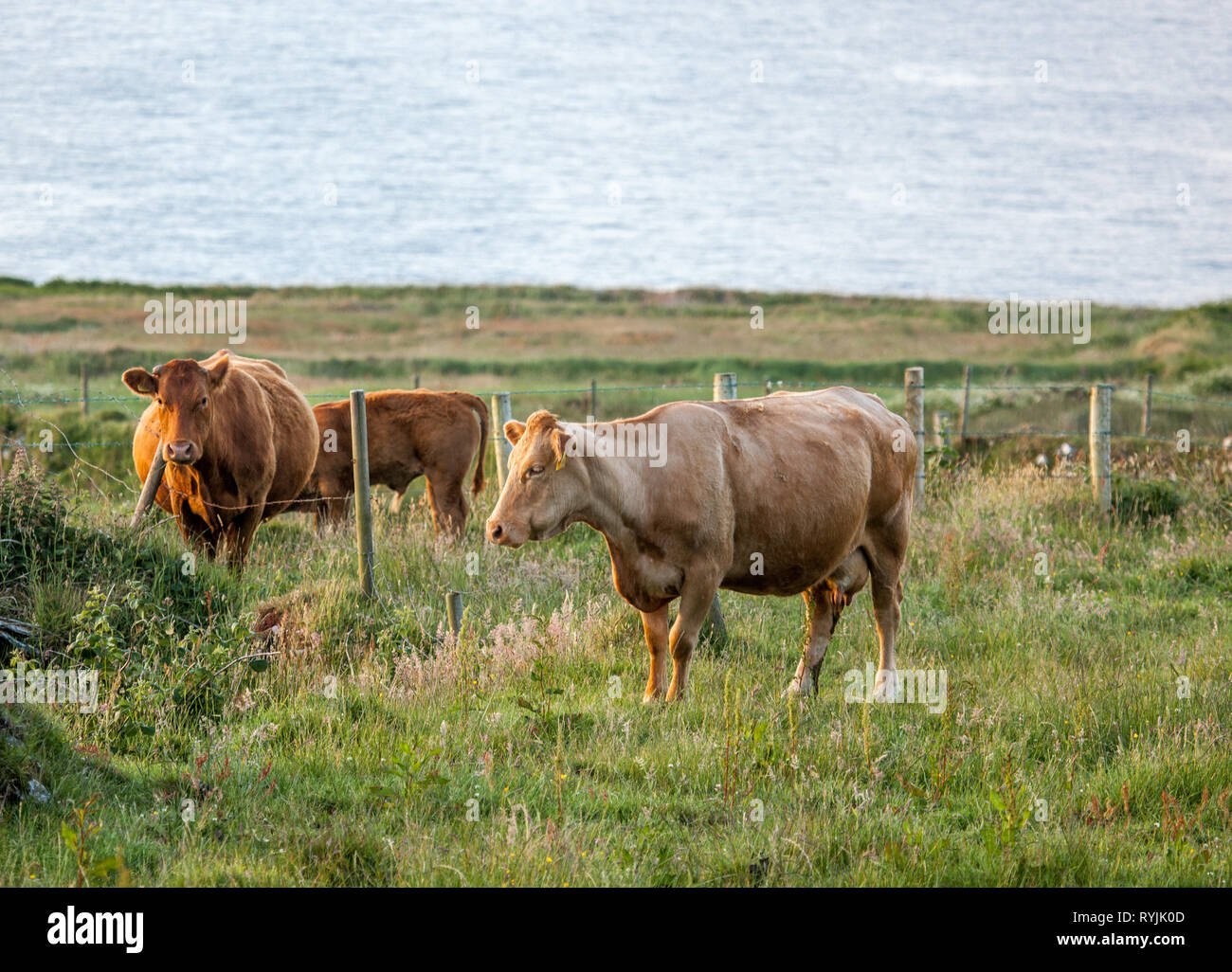 Dursey Island, Cork, Ireland. 18th June, 2016  Cattle on a pasture  in the townland of Kilmichael on Dursey Island, Co. Cork, Ireland. Stock Photo
