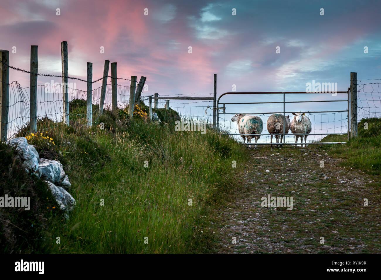 Dursey Island, Cork, Ireland. 18th June, 2016  Sheep behid a gate in the townland of Kilmichael on Dursey Island, Co. Cork, Ireland. - Stock Image
