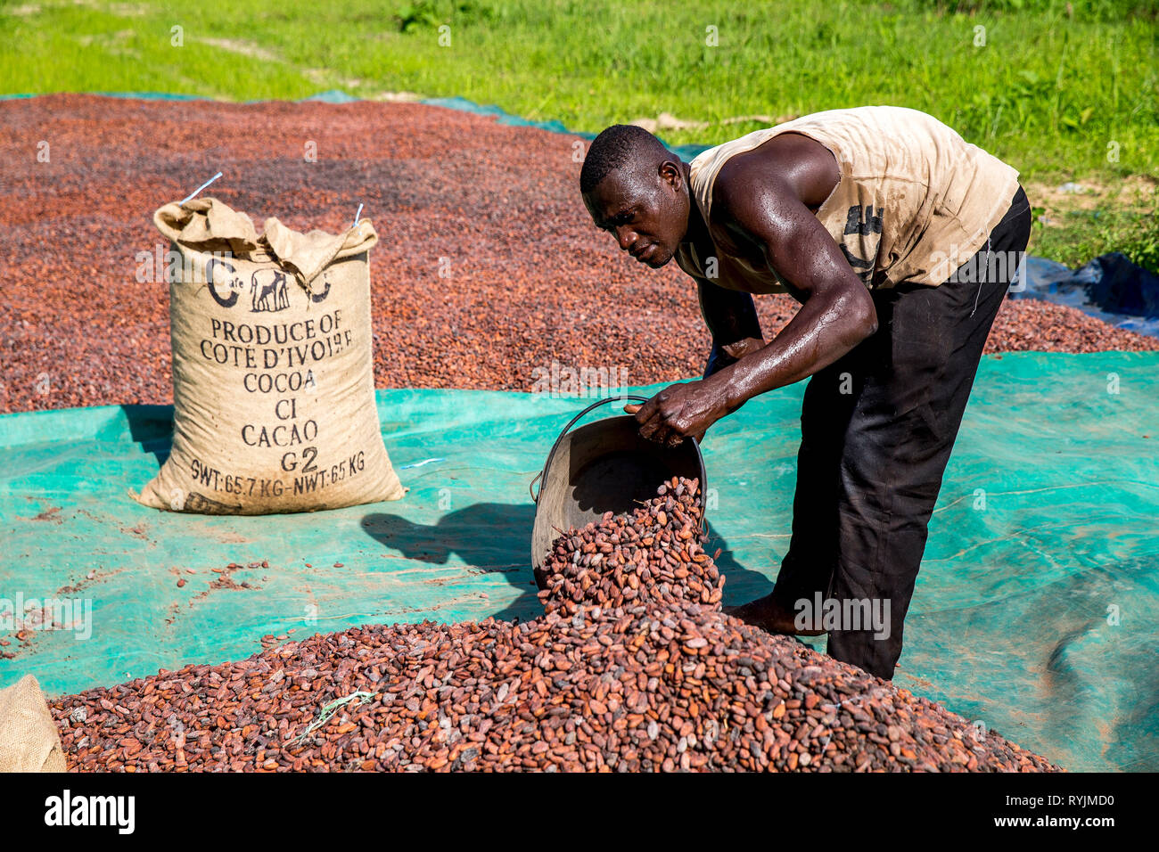 Cocoa bean drying in Agboville, Ivory Coast. - Stock Image