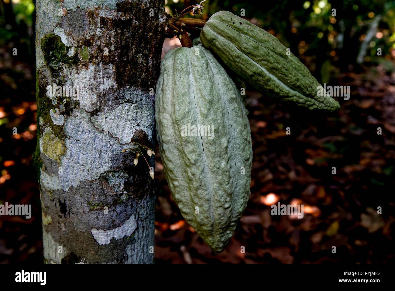 Cocoa plantation near Agboville, Ivory Coast. Stock Photo