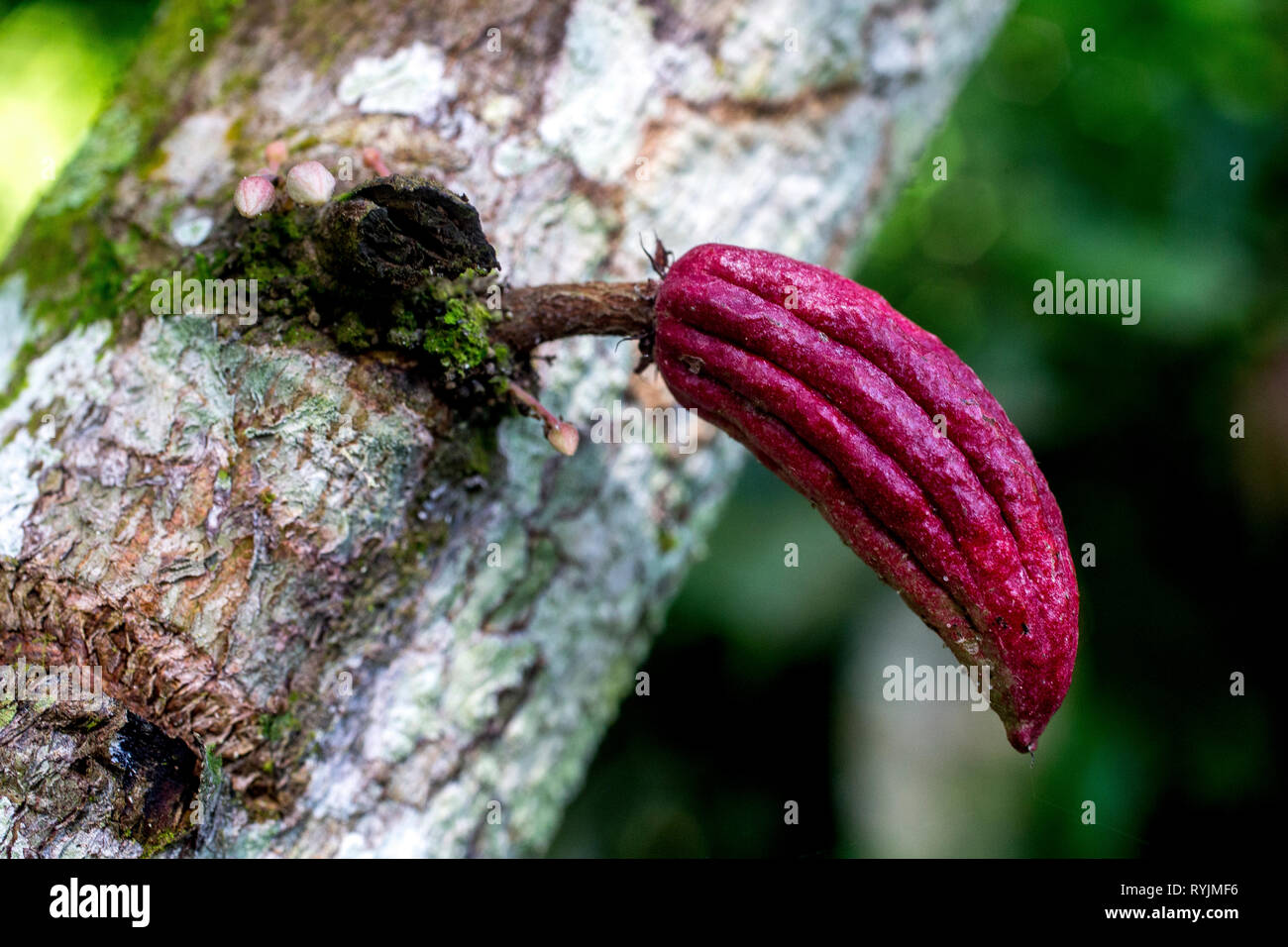 Cocoa sapling in a plantation near Agboville, Ivory Coast. Stock Photo