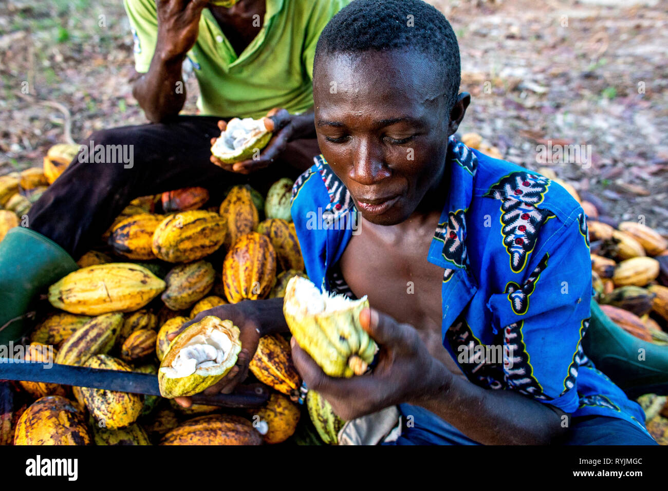 Cocoa planters eating cocoa mulch near Agboville, Ivory Coast. Stock Photo