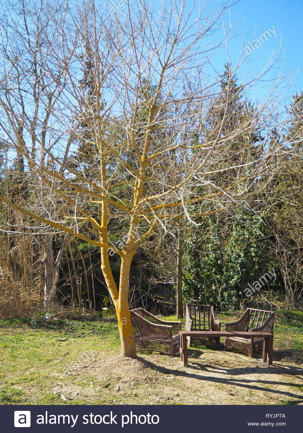 A tree with almost yellow trunk with three bamboo chairs and a wooden simple bench - Stock Image