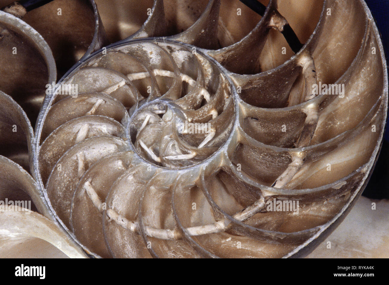 prehistory, prehistoric times, fossilization, nautilus, Additional-Rights-Clearance-Info-Not-Available - Stock Image