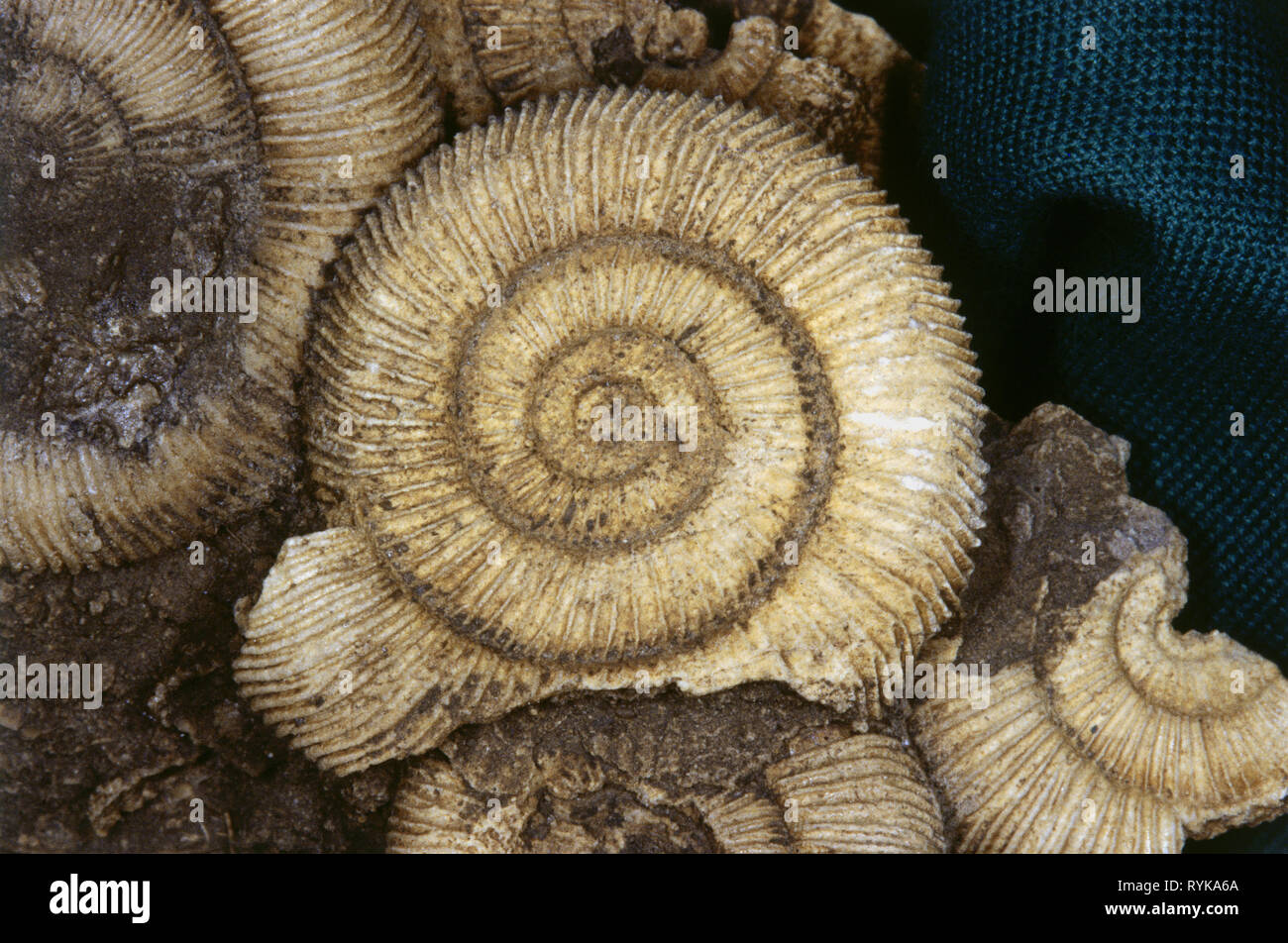 prehistory, prehistoric times, petrification, ammonite, Additional-Rights-Clearance-Info-Not-Available - Stock Image