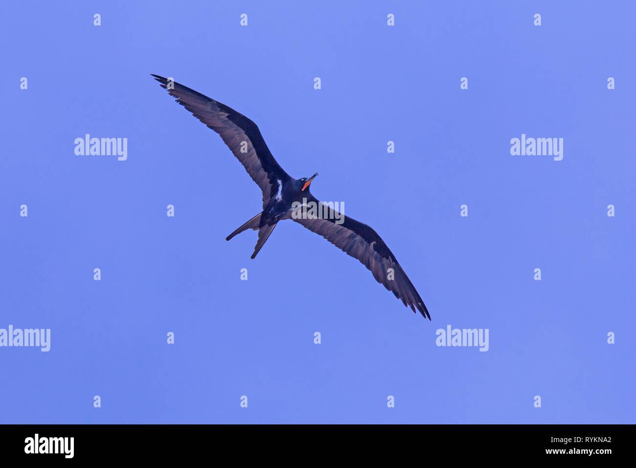 Lesser frigatebird (Fregata ariel) - Stock Image