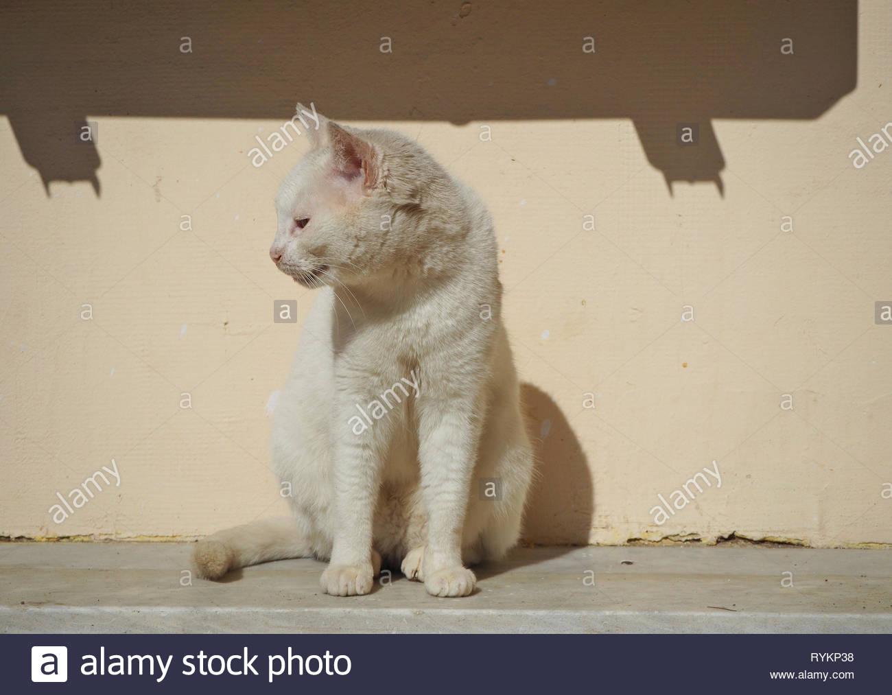 Stray white colored cat enjoying the sun - Stock Image