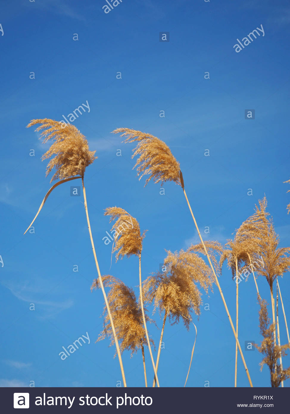 Top of common reeds isolated against blue sky - Stock Image