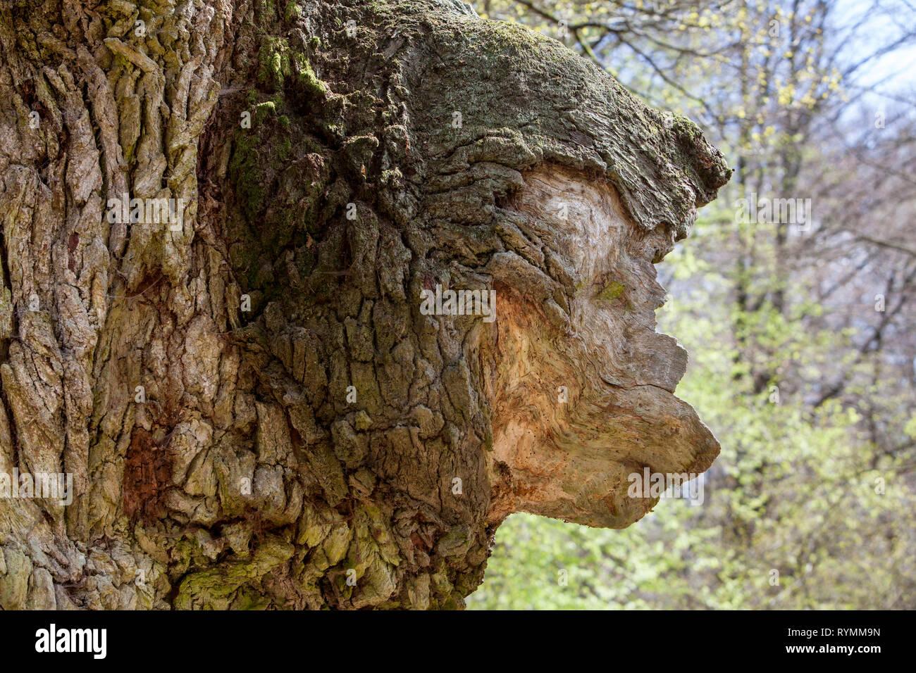 Tree face in a tree, Primeval forest Urwald Sababurg, Hofgeismar, Weser Uplands, Weserbergland, Hesse, Germany - Stock Image