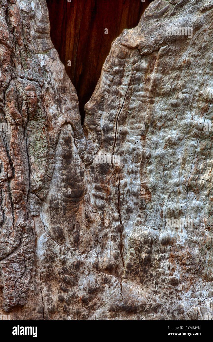 Bark structures, Primeval forest Urwald Sababurg, Weser Uplands, Weserbergland, Hesse, Germany - Stock Image