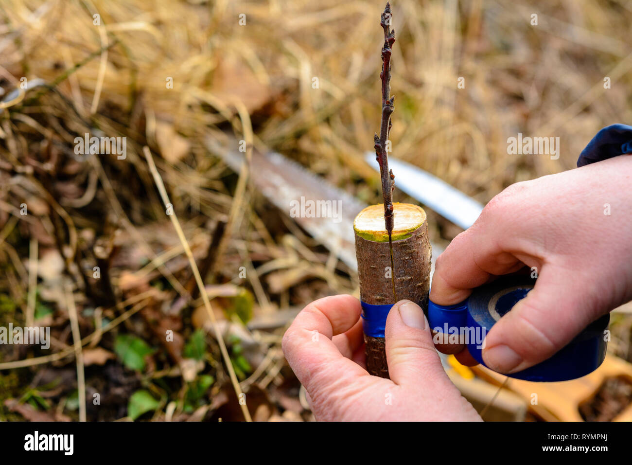 Woman wraps a graft tree with an insulating tape in the garden to detain the damp in it in close-up - Stock Image